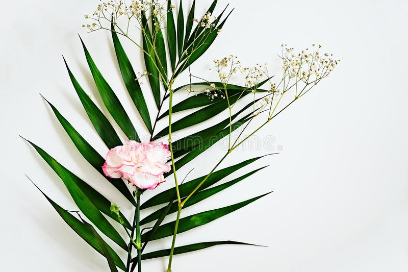 绿色叶子和康乃馨开花与在白色的桃红色边缘 免版税库存图片