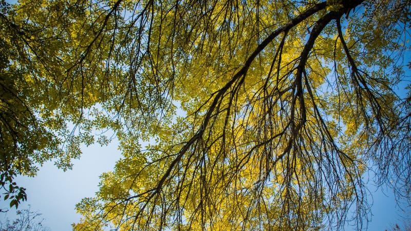 黄色叶子和树 免版税图库摄影