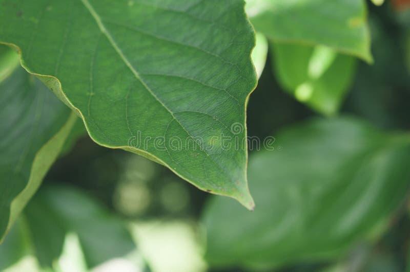 绿色叶子在森林里 库存图片