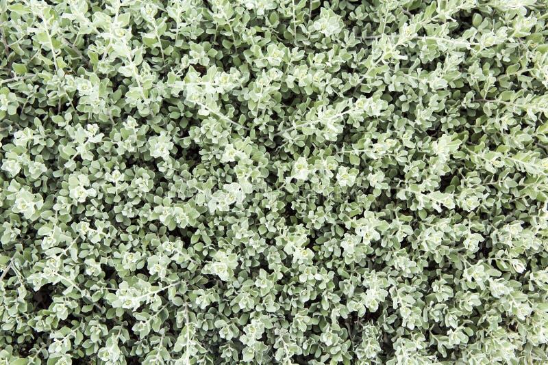绿色叶子墙壁纹理 免版税库存照片
