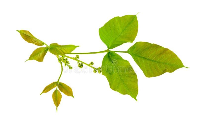 绿色叶子孤立 免版税图库摄影