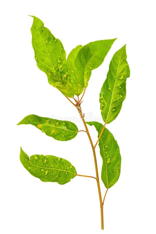 绿色叶子孤立 图库摄影