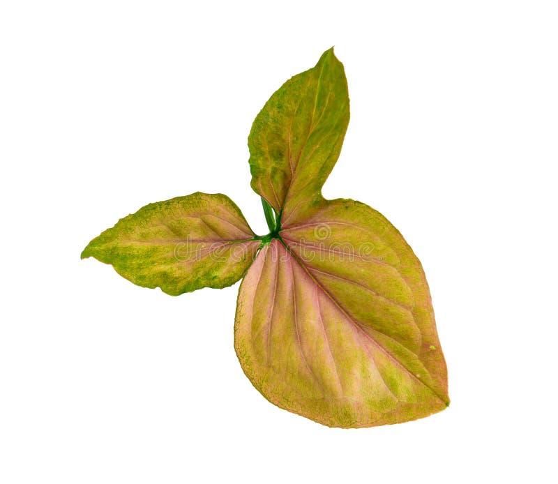 绿色叶子孤立 库存图片