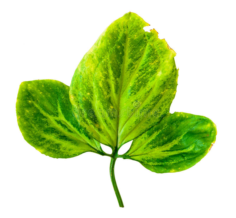 绿色叶子孤立 免版税库存图片