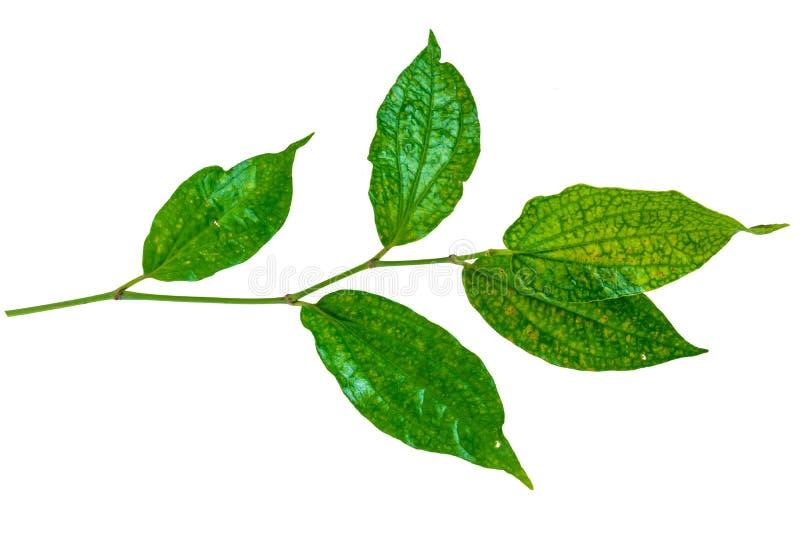 绿色叶子孤立 库存照片