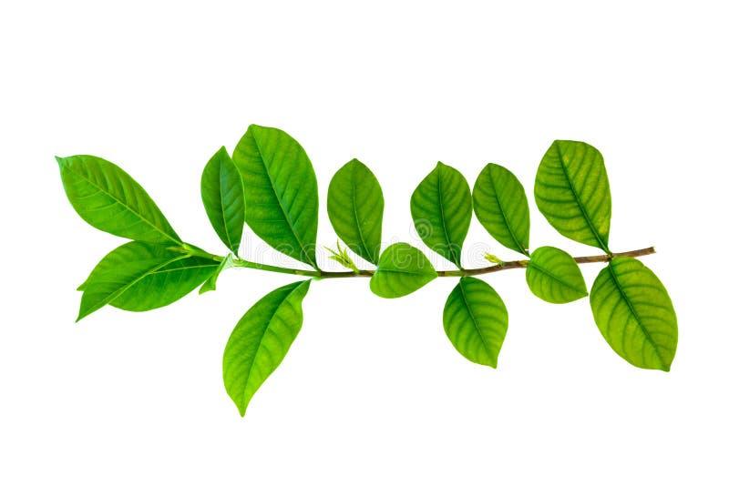 绿色叶子孤立 免版税库存照片