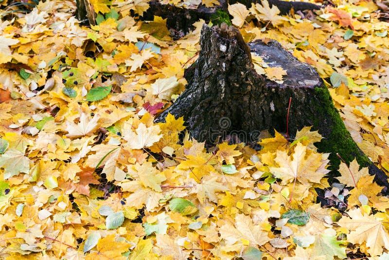 黄色叶子废弃物和老树桩在秋天 库存图片