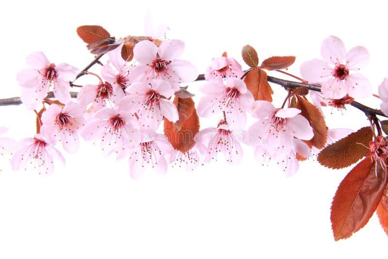 紫色叶子李子(李属cerasifera) 库存图片