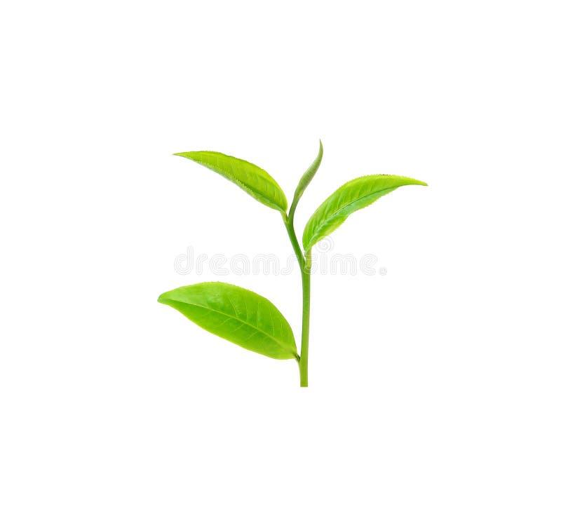 绿色叶子茶 库存照片