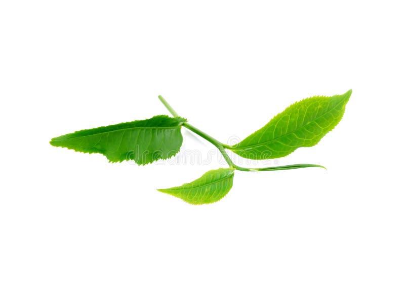 Download 绿色叶子茶 库存图片. 图片 包括有 宏指令, 框架, 特写镜头, 幼木, 叶子, 期初的, 查出, 概念 - 59107663