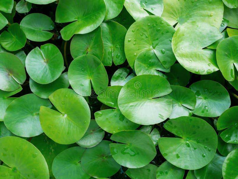一种水生植物,象莲花,叶子大如箥萝 宠物水生植物莲花叶子图片