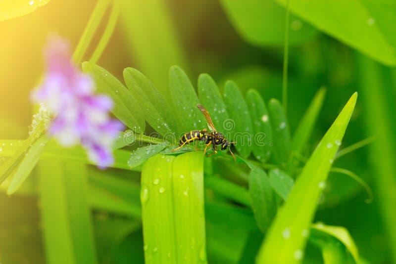 绿色叶子黄蜂 黄蜂的宏观射击坐结尾  免版税库存照片