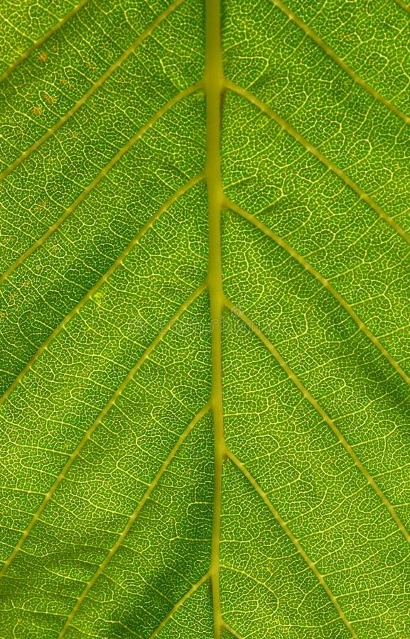 Download 绿色叶子 库存照片. 图片 包括有 叶子, 玻色子, 颜色, 原纤维, 种植, 栗子, 纹理, 绿色, 本质 - 72367180