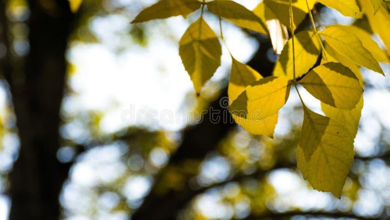 黄色叶子 免版税库存照片