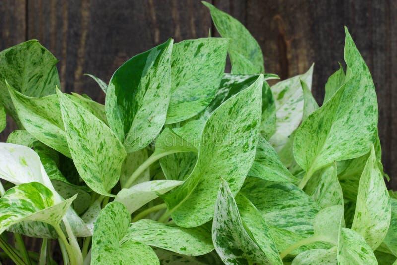 绿色叶茂盛室内植物(pothos)由树 免版税库存图片