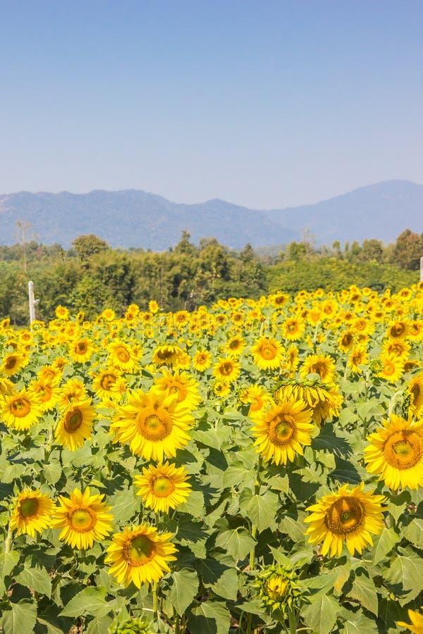 黄色向日葵领域 免版税库存图片