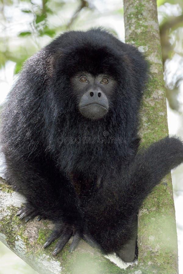黑色吼猴 库存图片