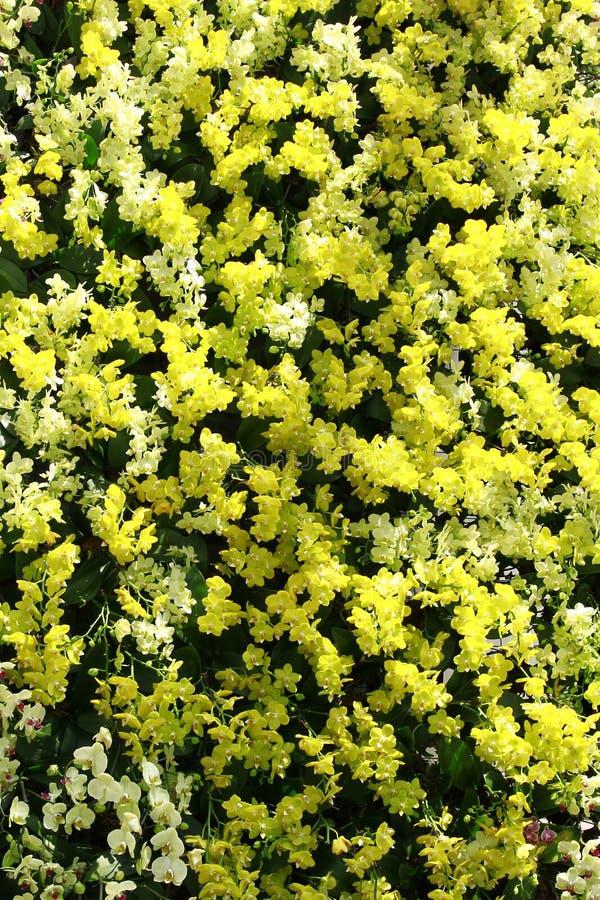 黄色和白色兰花 免版税库存照片
