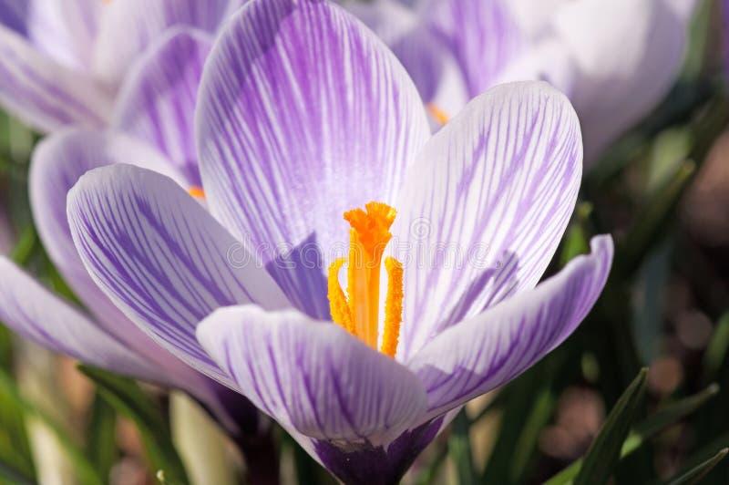紫色和白色番红花花 免版税库存照片
