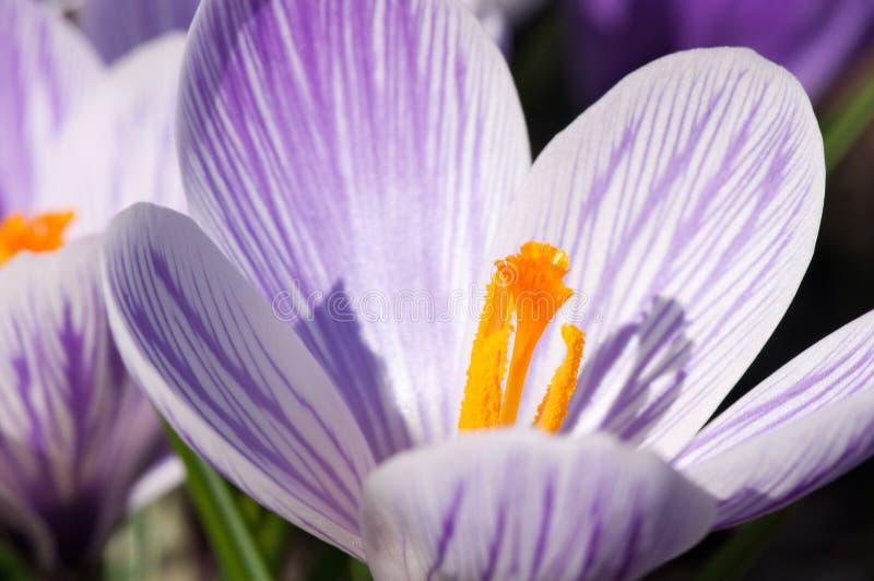 紫色和白色番红花花 免版税库存图片