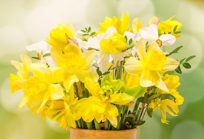 黄色和白色黄水仙(水仙)花,关闭,绿色梯度背景 免版税库存图片