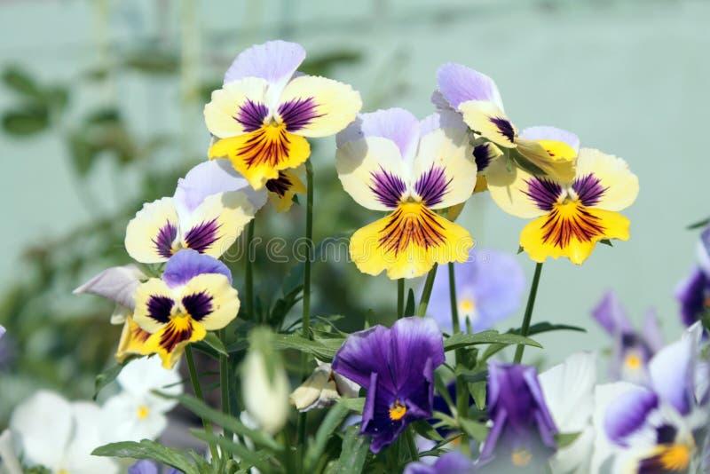 黄色和白色蝴蝶花 免版税库存照片