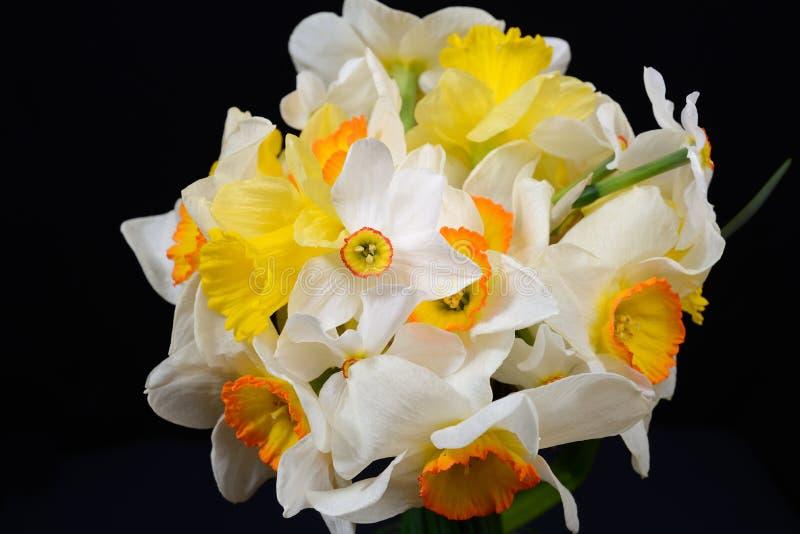 黄色和白色黄水仙,强的对比美丽的花束  库存照片