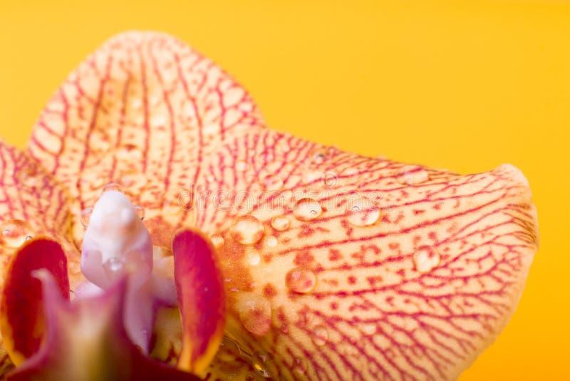 黄色和红色兰花宏指令用水下降 图库摄影