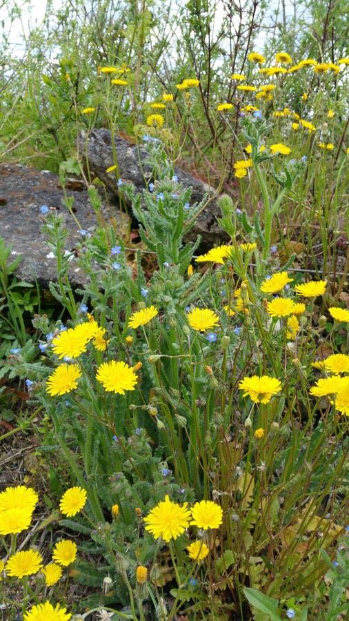 黄色和蓝色狂放的春天花 图库摄影