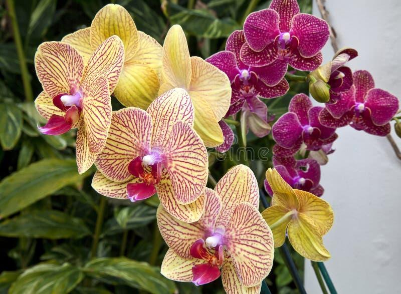 Download 紫色和黄色兰花 库存照片. 图片 包括有 开花, beautifuler, 相当, 黄色, 雄芯花蕊, 园艺 - 30337726