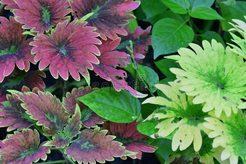 紫色和绿色叶子 免版税库存照片