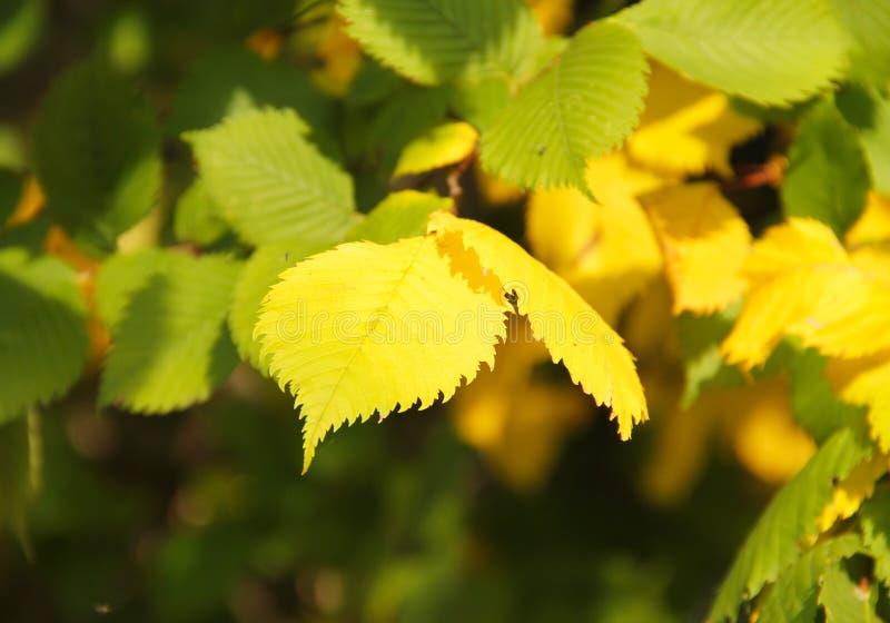 黄色和绿色叶子 免版税库存照片
