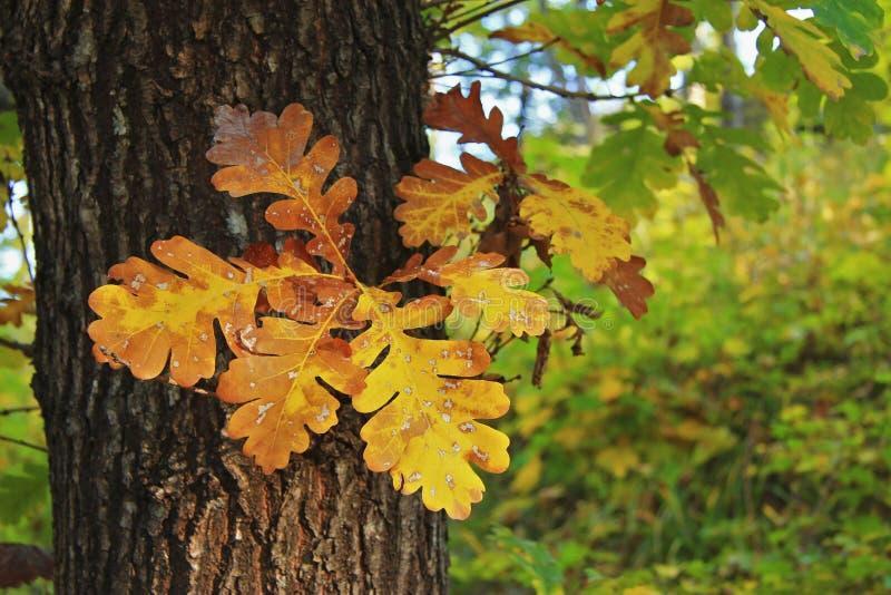 黄色和绿色橡木在树离开 免版税库存照片