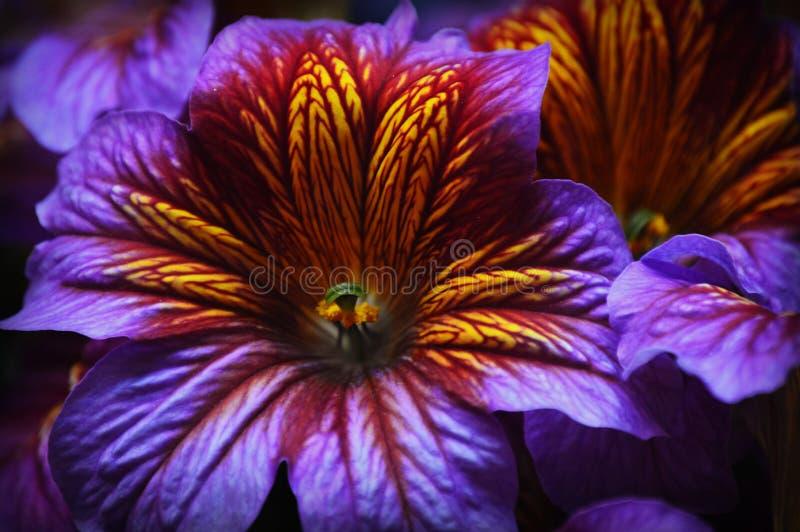 紫色和黄色热带花 库存图片