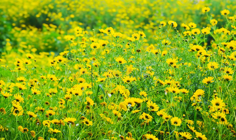 黄色和绿色雏菊领域 库存照片