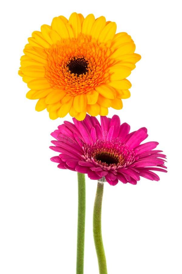 黄色和紫色gerber 库存照片