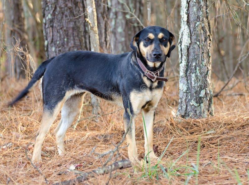 黑色和tan猎浣熊的猎犬混合狗