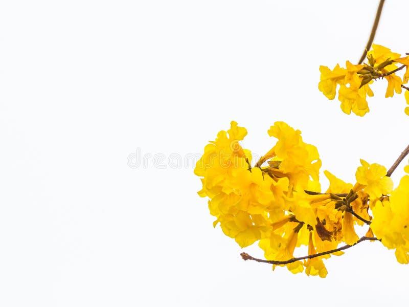 黄色喇叭花在泰国 免版税库存图片