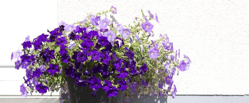 紫色喇叭花在高度他们的荣耀春天 免版税库存照片