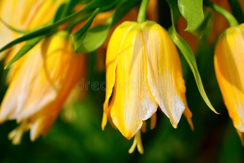 黄色喇叭花花 库存照片
