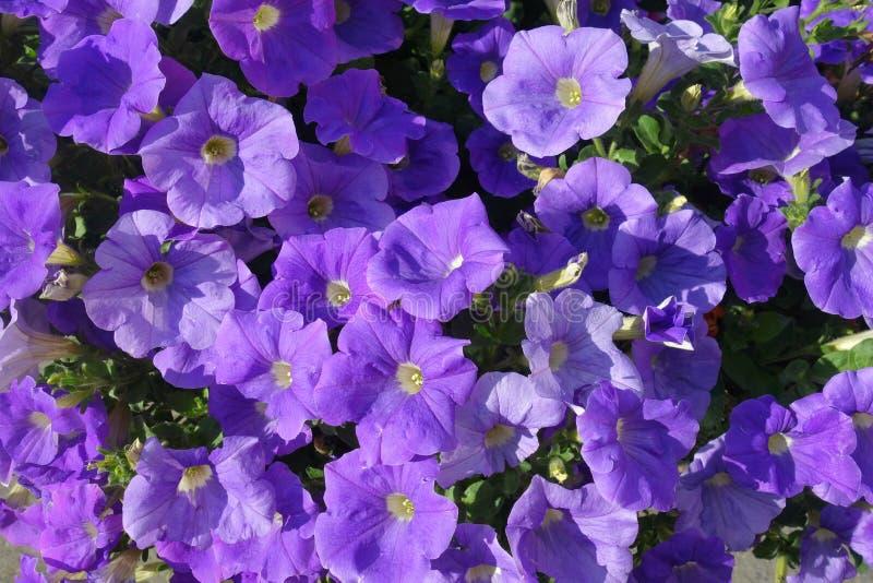 紫色喇叭花 免版税库存图片