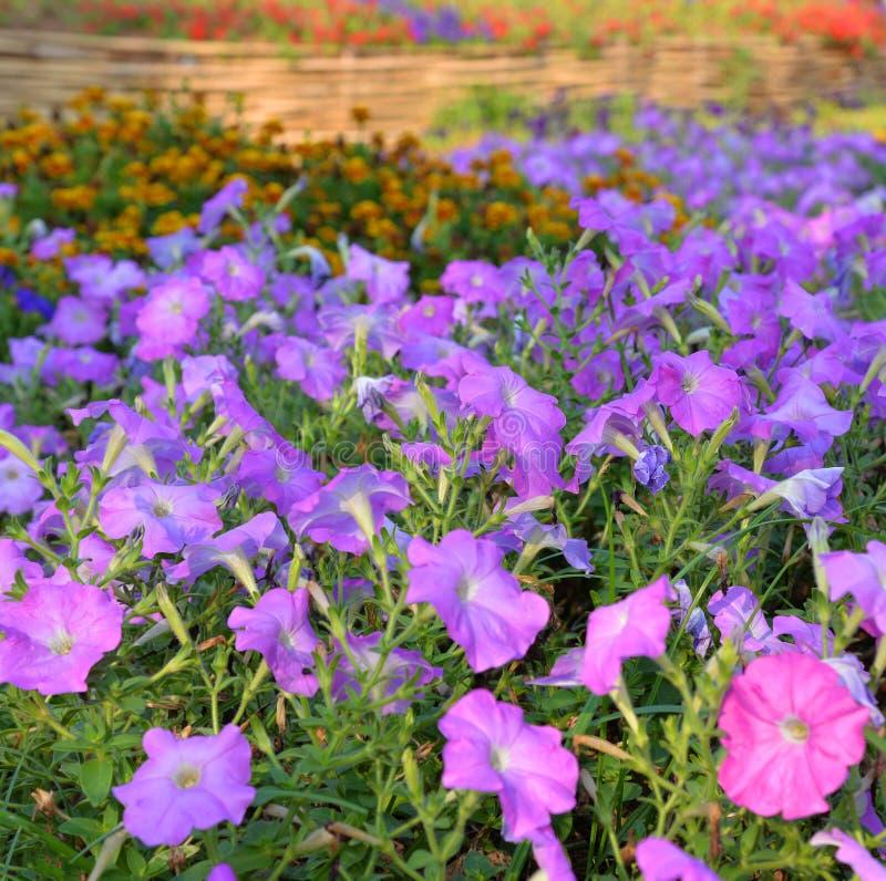紫色喇叭花 图库摄影