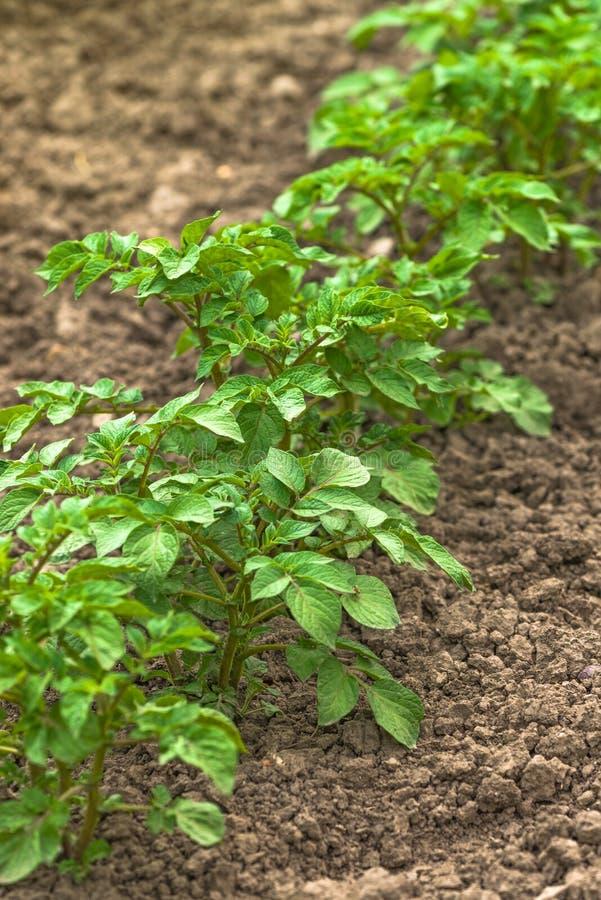 绿色土豆厂行在耕种的菜种植园Fi 免版税库存照片
