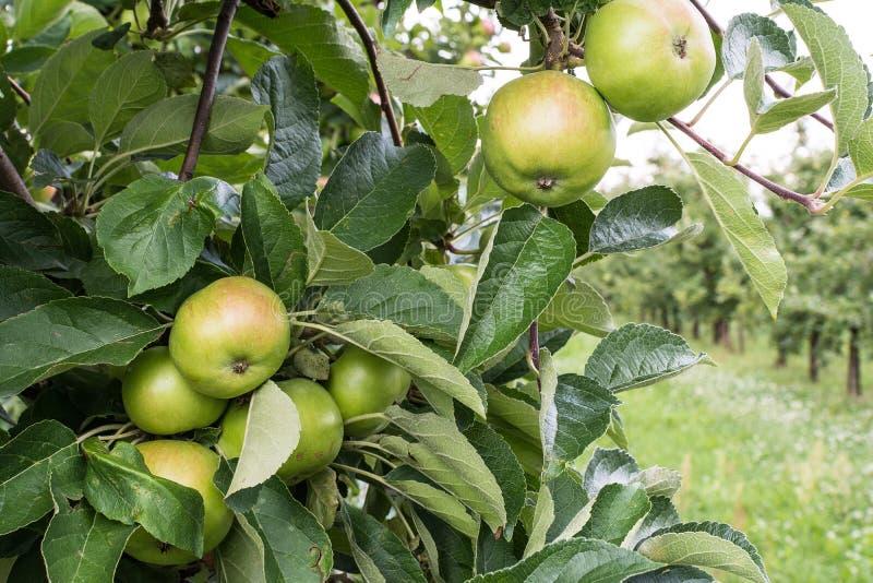绿色在树的unriped Idared苹果 免版税库存照片