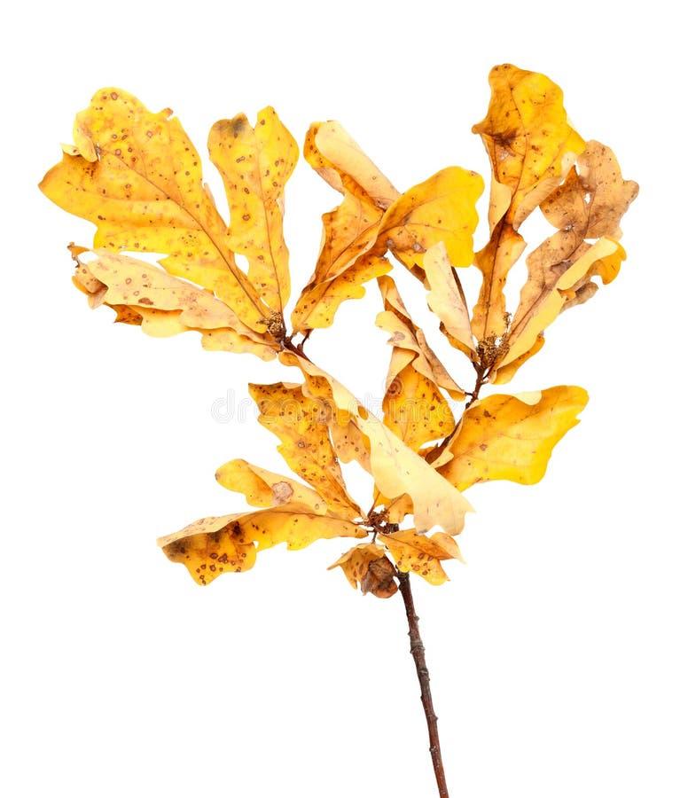 黄色在橡木枝杈的干秋叶 免版税库存照片