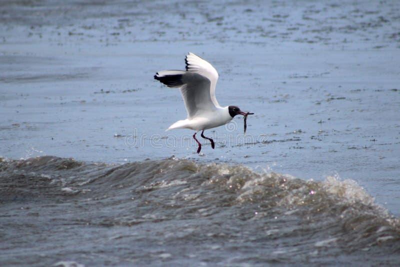 黑色在海朝向海鸥渔 库存照片