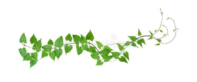 绿色在白色背景留下野生攀缘藤本,被隔绝, c 免版税库存照片