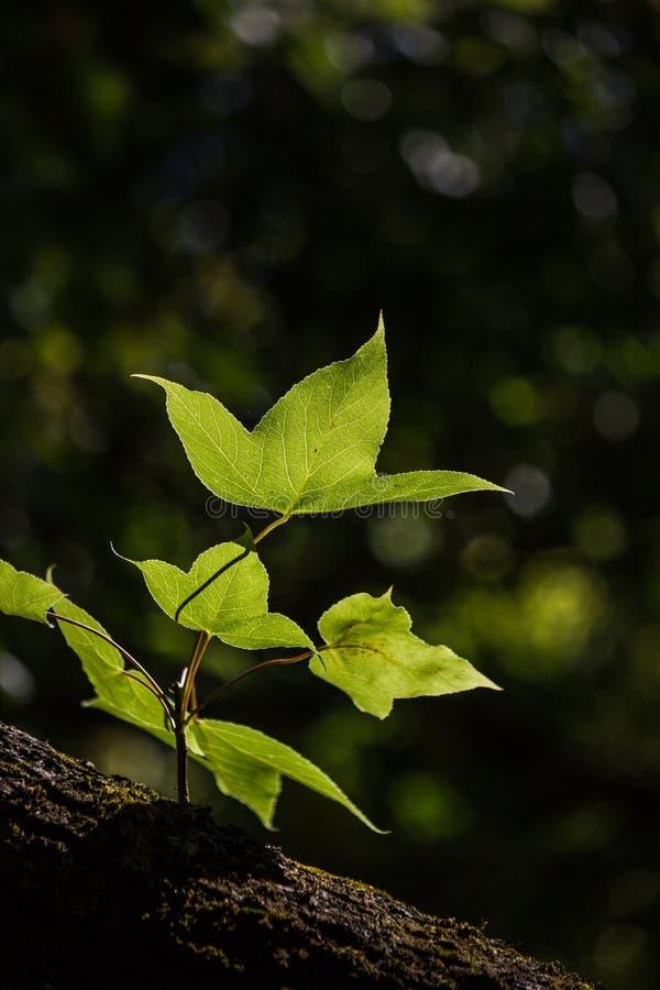 绿色在黑背景把槭树留在 图库摄影