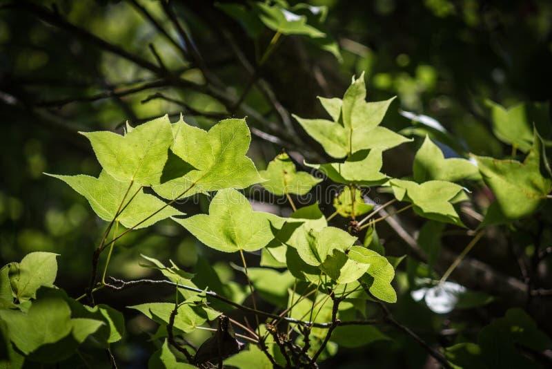 绿色在黑bokeh背景把槭树留在 免版税库存图片