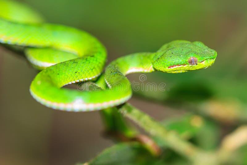 绿色坑蛇蝎蛇 免版税库存图片